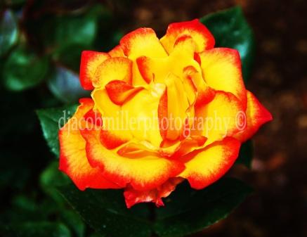 "2008 National Arts Program *AWARD WINNING* ""Fire in Bloom"""